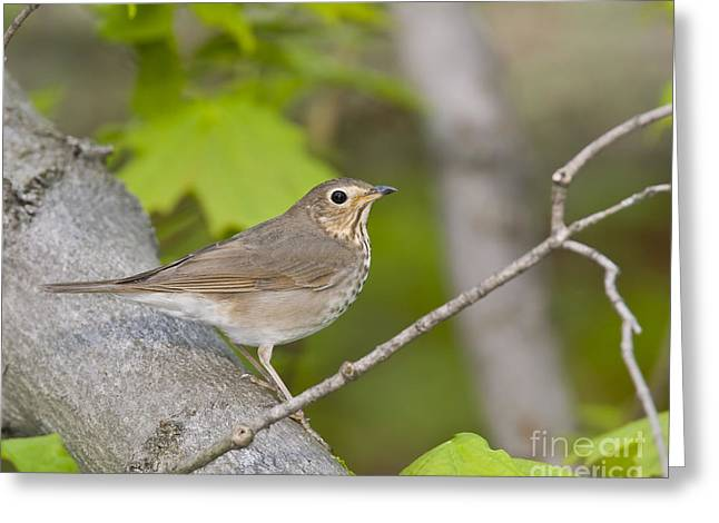 James Sculptures Greeting Cards - Swainsons Thrush Greeting Card by James Mundy