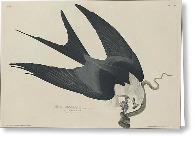 Swallow Tail Greeting Cards - Swallow Tailed Hawk Greeting Card by John James Audubon