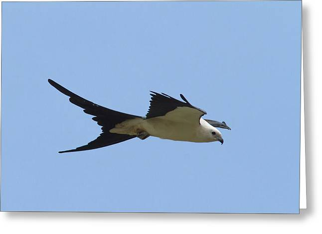 Kite Greeting Cards - Swallow-tailed Kite #2 Greeting Card by Paul Rebmann