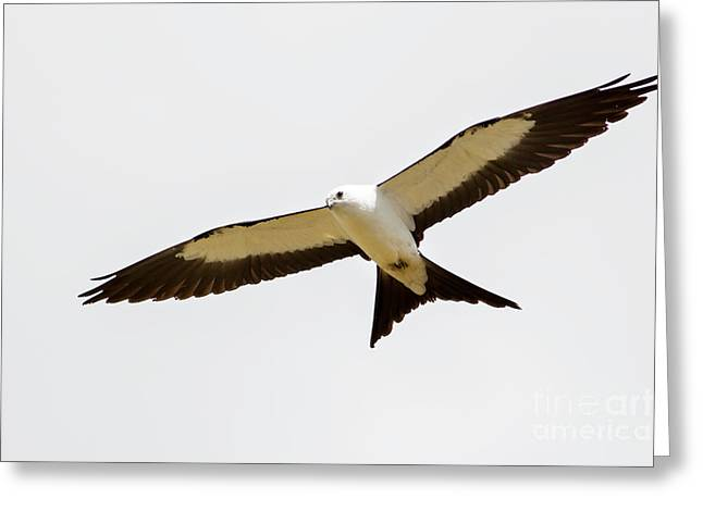 Kite Greeting Cards - Swallow-tailed Kite Greeting Card by Natural Focal Point Photography