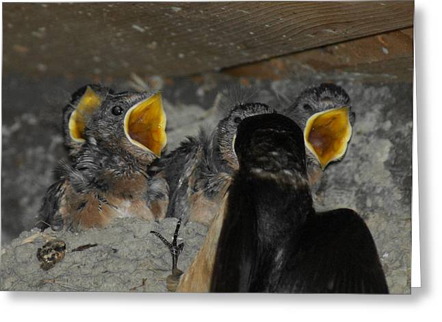 Baby Swallows Greeting Cards - Swallows Opera  Greeting Card by Ernie Echols