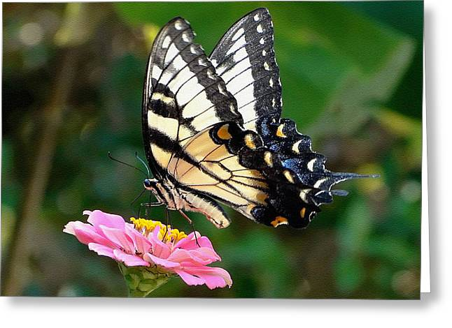 Swallowtail Butterfly 3 Greeting Card by Sue Melvin