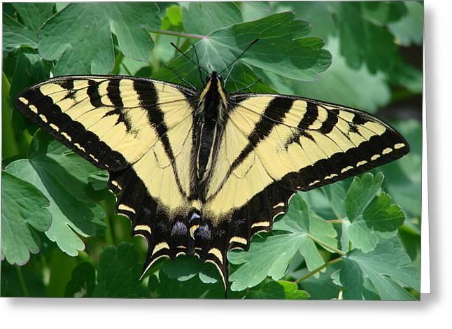 Swallowtail Butterflies Greeting Cards - Swallowtail butterfly Greeting Card by Liz Vernand