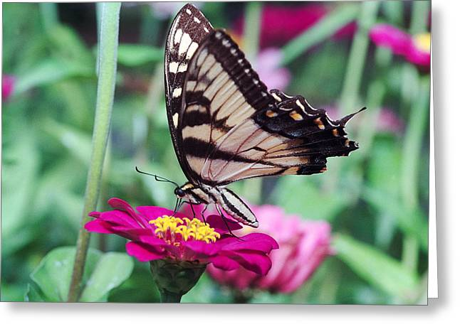 Sucking Greeting Cards - Swallowtail Butterfly Sucking Nectar from a Flower Greeting Card by George Oze