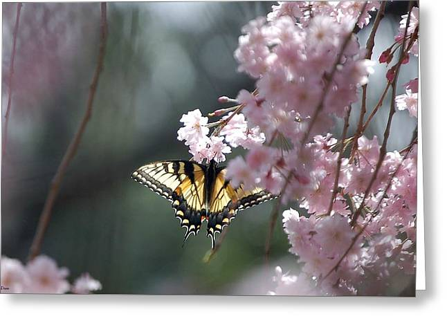 Weeping Greeting Cards - Swallowtail in Cherry Tree Greeting Card by Molly Dean