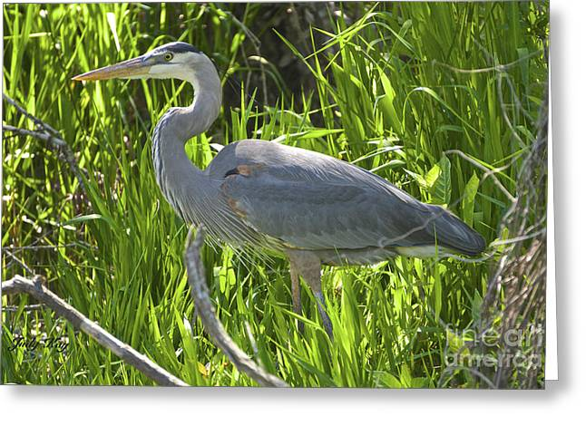 Wild Birds Greeting Cards - Swamp Beauty Greeting Card by Judy Kay