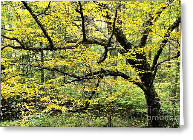 Swamp Birch In Autumn Greeting Card by Thomas R Fletcher