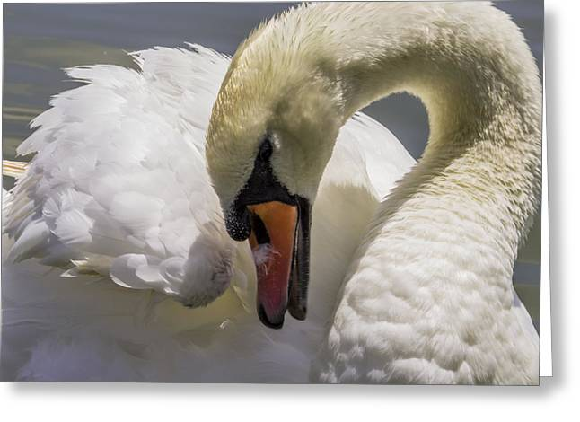 Fineartamerica Greeting Cards - Swan close up Greeting Card by Zina Stromberg