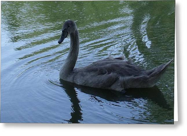 Swan Cygnet Greeting Card by Anna Villarreal Garbis