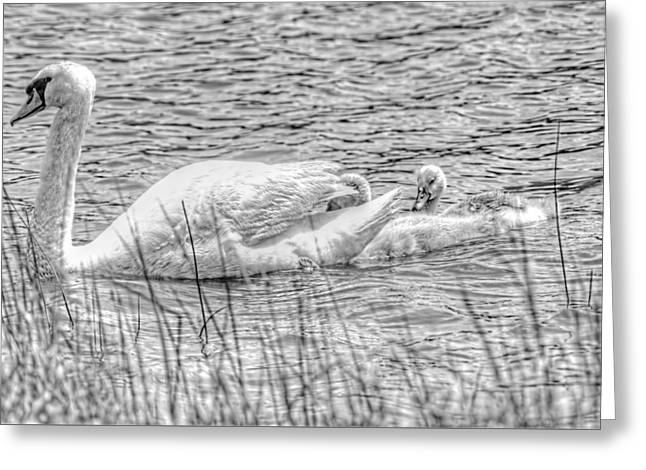 Water Fowl Greeting Cards - Swan family Black and White Greeting Card by Geraldine Scull