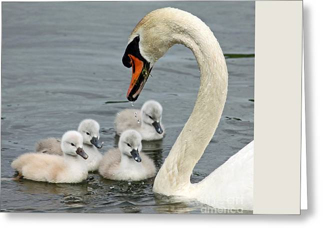 Swans... Greeting Cards - Swan Family day two Greeting Card by Steve  Gass