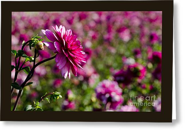 Swan Island Dahlia Landscape Greeting Card by Nick  Boren