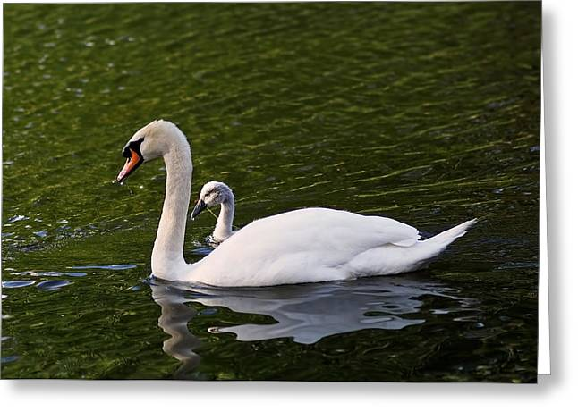 Swans... Greeting Cards - Swan Mother with Cygnet Greeting Card by Rona Black