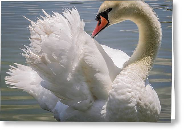 Print On Canvas Greeting Cards - Swan Greeting Card by Zina Stromberg
