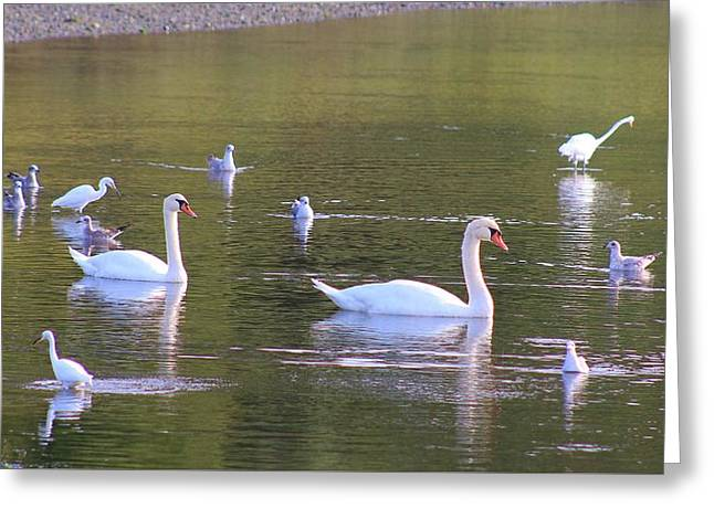 Swans... Greeting Cards - Swans and Friends Greeting Card by Karen Silvestri