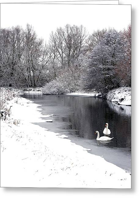Swans In The Snow Greeting Card by Gary Eason