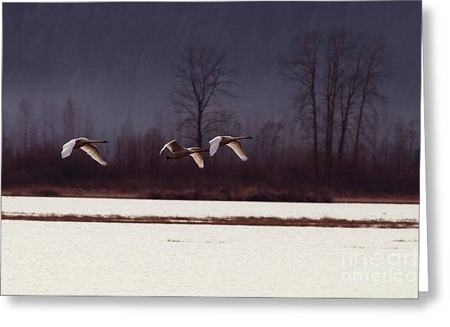Flying Swan Greeting Cards - Swans over the Marsh Greeting Card by Sharon  Talson