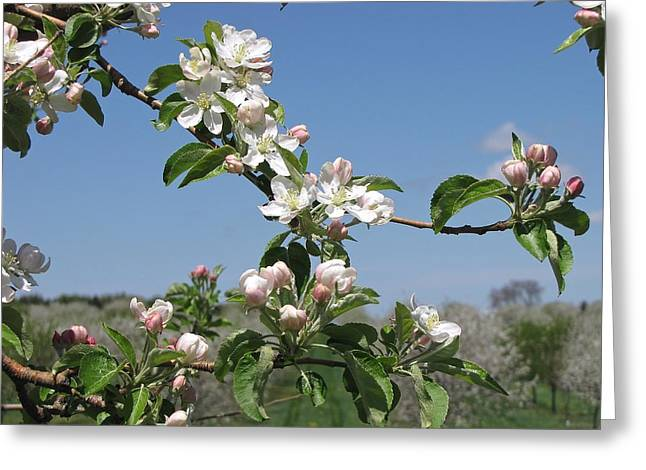 Michigan Farmhouse Greeting Cards - Apple Blossoms  Pentwater Michigan Greeting Card by Jane Greiner