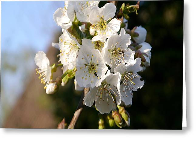 Wild Orchards Greeting Cards - Sweet Cherry Blossoms - Duvet Covers Greeting Card by Christiane Schulze Art And Photography