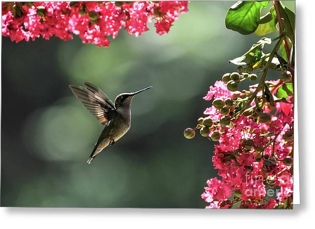 Print Photographs Greeting Cards - Sweet Little Hummingbird  Greeting Card by Tammy Hyatt