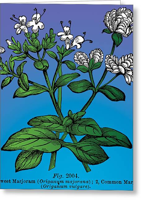 1870 Mixed Media Greeting Cards - Sweet Marjoram Greeting Card by Eric Edelman