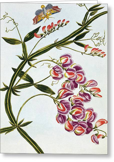Sweet Pea Greeting Card by Pierre-Joseph Buchoz