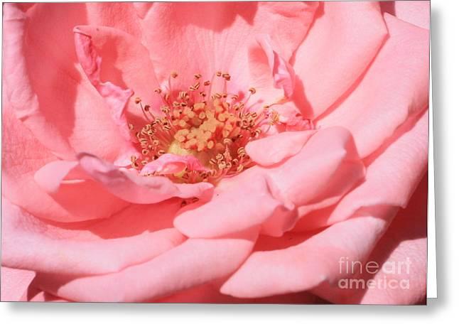 Rose Petals Greeting Cards - Sweet Pink Rose  Greeting Card by Carol Groenen