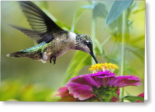 Sweet Success Hummingbird Square Greeting Card by Christina Rollo