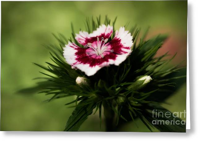 Van Dusen Botanical Garden Greeting Cards - Sweet William Greeting Card by Venetta Archer