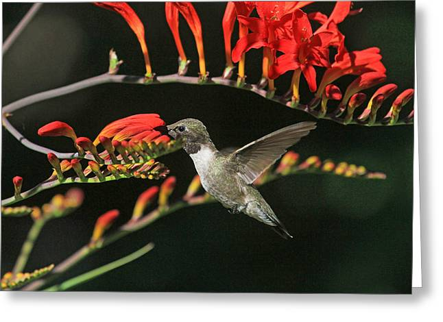 Crocosmia Greeting Cards - Sweets for the Sweet Greeting Card by Donna Kennedy