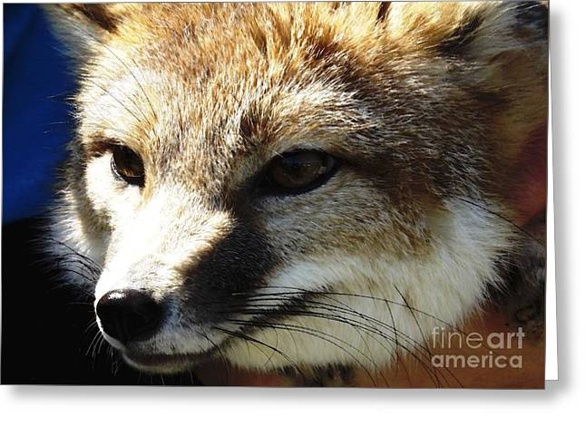 Swift Fox With Oil Painting Effect Greeting Card by Rose Santuci-Sofranko