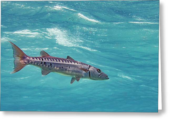 Swimming Barracuda Greeting Card by Jean Noren