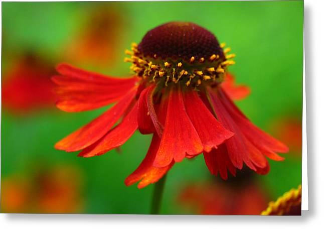 Sneezeweed Greeting Cards - Swirling Sneezeweed Greeting Card by Juergen Roth