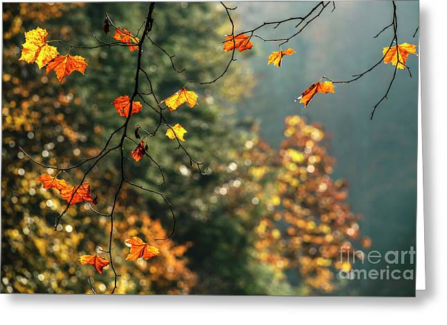 Sycamore Leaves In Autumn Greeting Card by Thomas R Fletcher