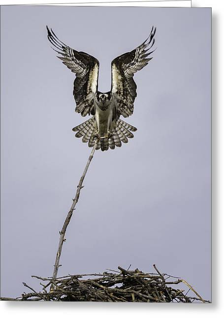 Osprey Photographs Greeting Cards - Symmetry Greeting Card by Everet Regal