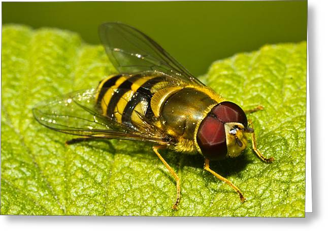 Flying Animal Greeting Cards - Syrphus Ribesii Greeting Card by Gert Lavsen