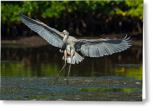J N Ding Darling National Wildlife Refuge Greeting Cards - Ta-da Greeting Card by Robert Panozzo