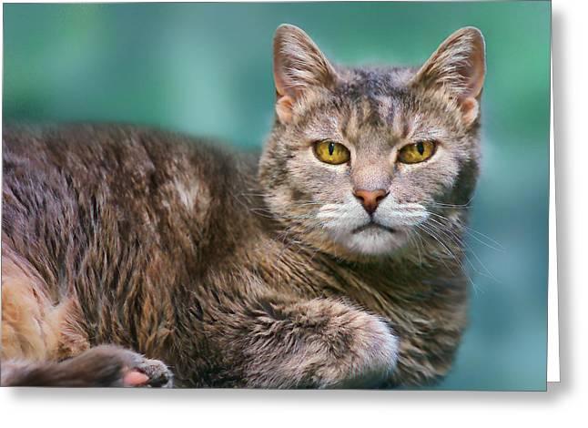 Felis Catus Greeting Cards - Tabby Cat on Aqua Greeting Card by Nikolyn McDonald