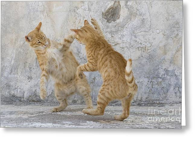 Litter Mates Photographs Greeting Cards - Tabby Cats Fighting Greeting Card by Jean-Louis Klein & Marie-Luce Hubert