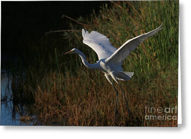 Hunting Bird Greeting Cards - Take Off Greeting Card by Craig Corwin