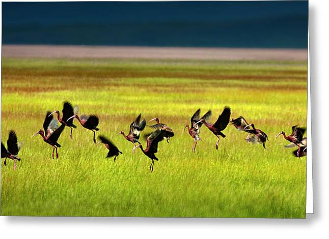 Ibis Greeting Cards - Take Off Greeting Card by Leland D Howard