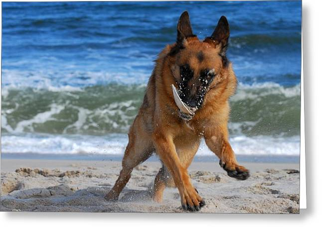 Dog Play Beach Greeting Cards - Take Off With A Clam Shell - German Shepherd Dog Greeting Card by Angie Tirado