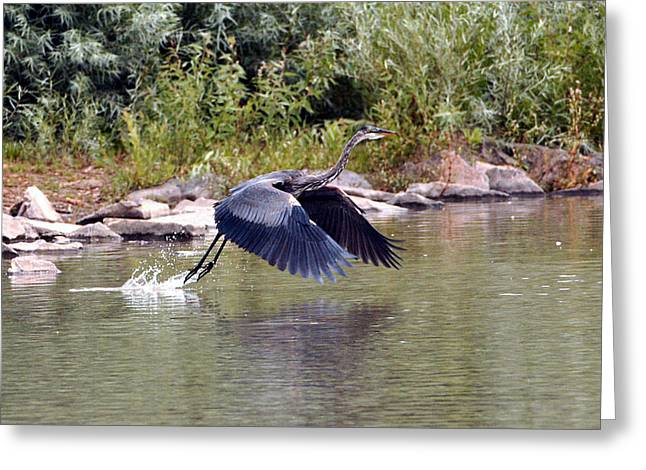 Heron Greeting Card Greeting Cards - Taking Off  Greeting Card by James Steele