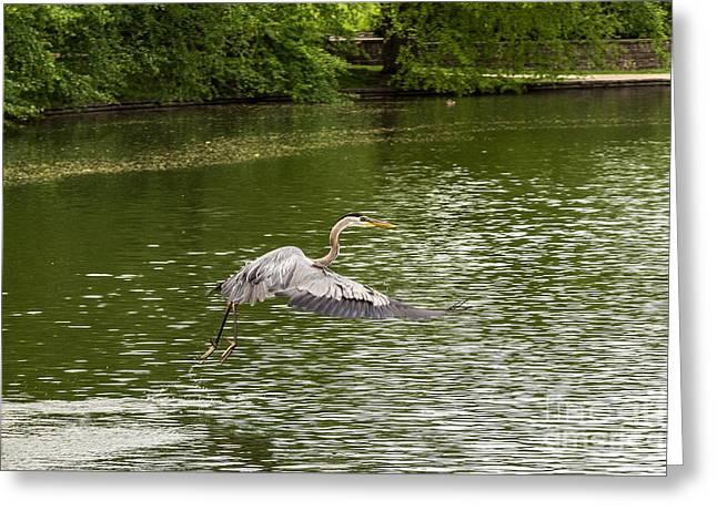Flying Animal Greeting Cards - Taking Off Greeting Card by Terri Morris
