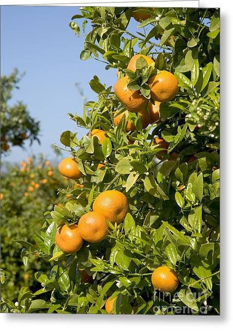 Tangerine Greeting Cards - Tangerines On A Tree Branch Greeting Card by Inga Spence