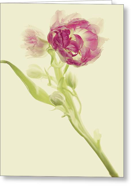 Tulip Bud Greeting Cards - Tangled Greeting Card by Rebecca Cozart