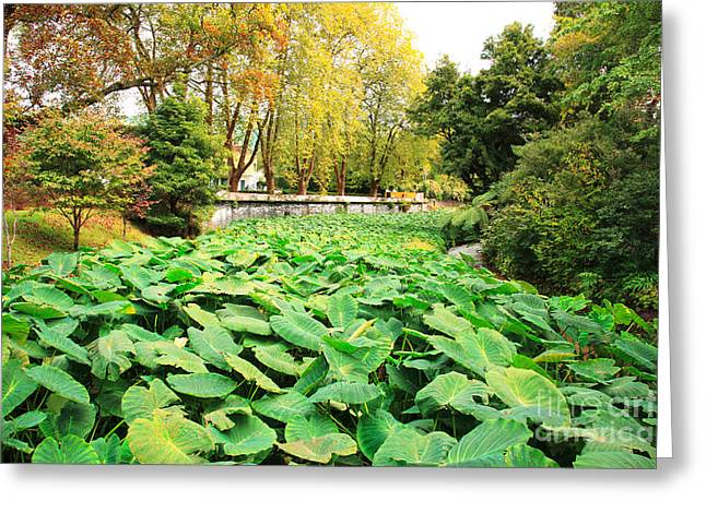 Elephant Ear Plant Greeting Cards - Taro field Greeting Card by Gaspar Avila
