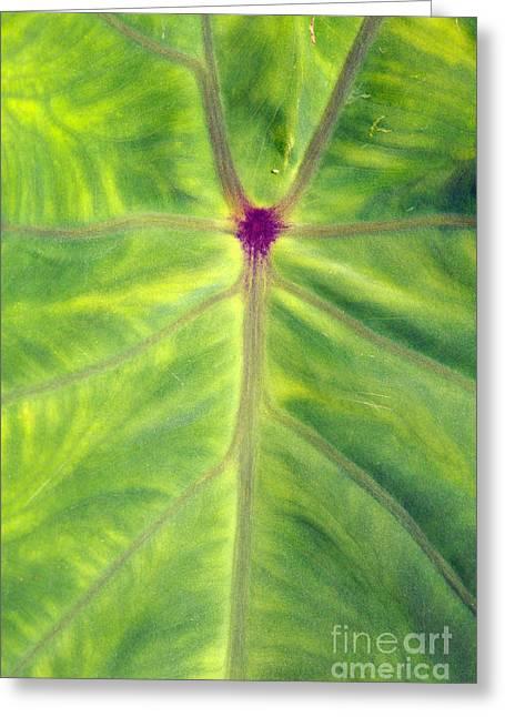 Elephant Ear Plant Greeting Cards - Taro leaf Greeting Card by Gaspar Avila