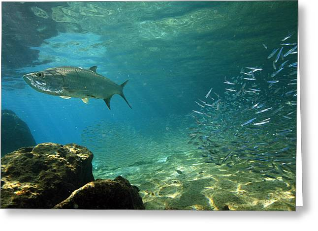 Ocean Images Greeting Cards - Tarpon, Megalops Atlanticus, Hunting Greeting Card by George Grall