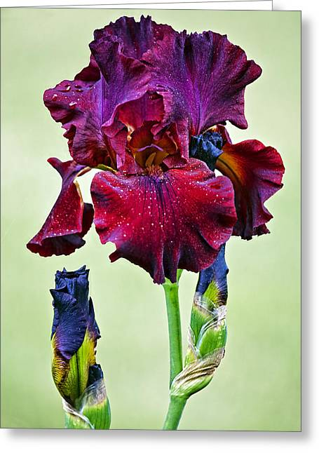 Featured Art Greeting Cards - Tart Iris Greeting Card by Marcia Colelli